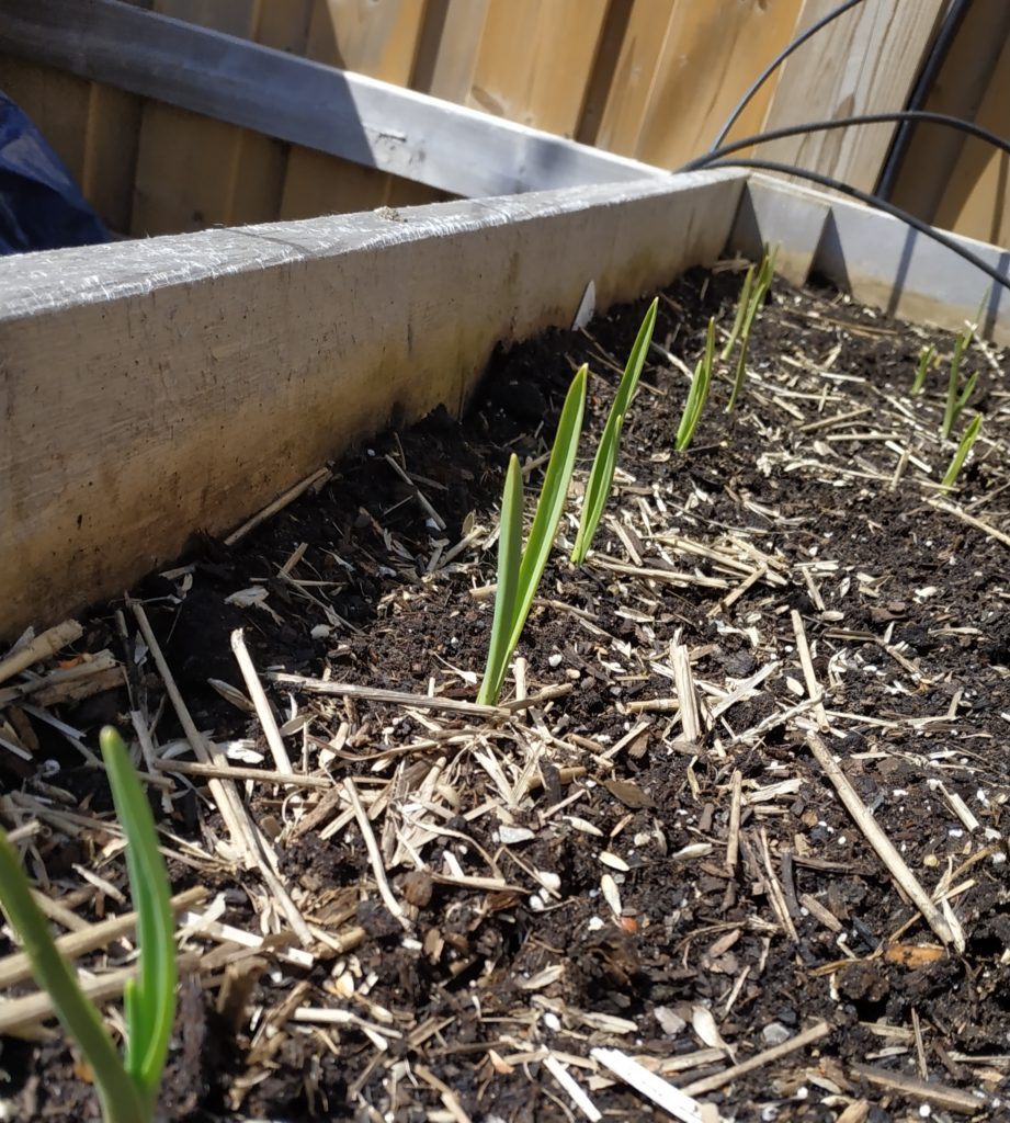 Garlic sprouting in the spring