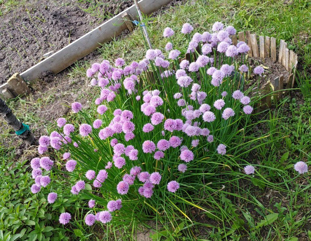 flowering Chives (herbs)