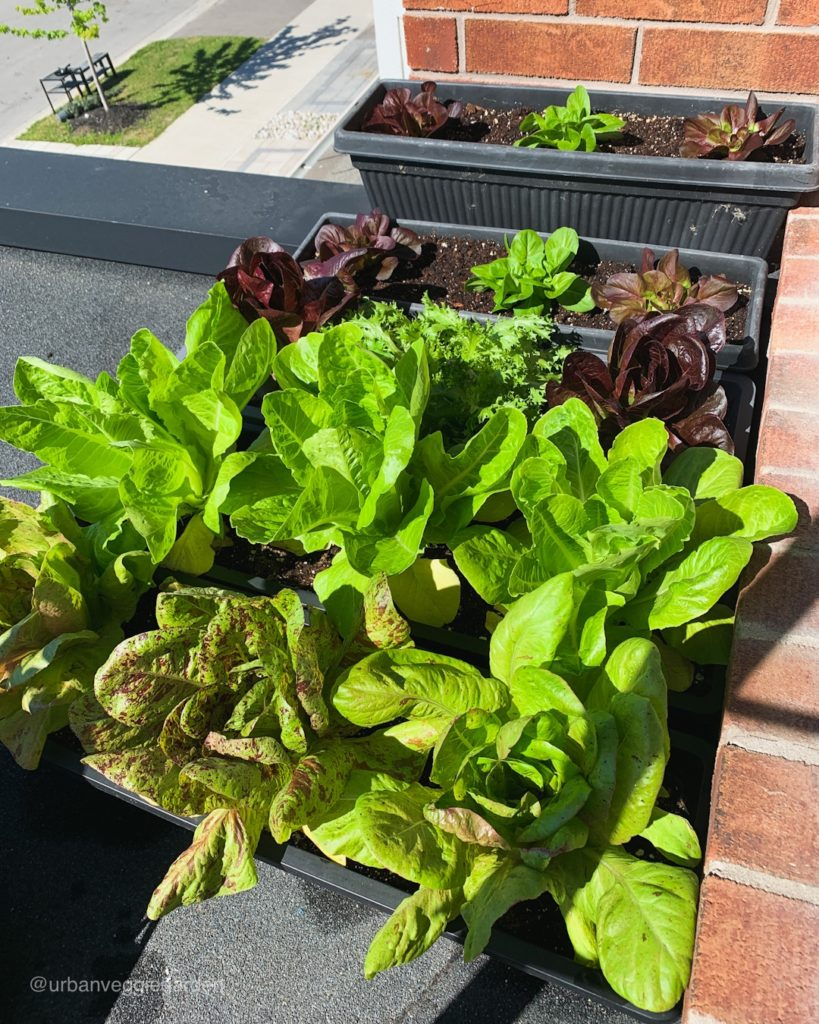 Lettuce growing in containers on the roof.