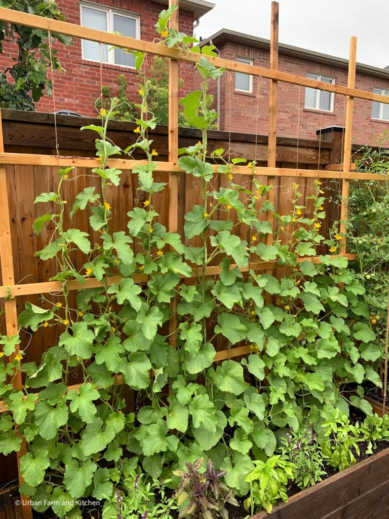 Melons growing vertically on a trellis
