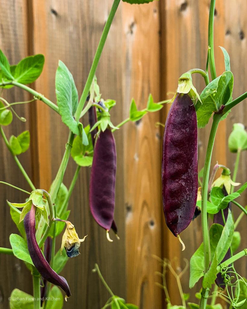 purple peas